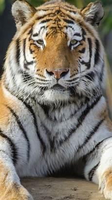 tiger wallpaper iphone 7 tiger 8k ultra hd 1932788 hd wallpaper backgrounds