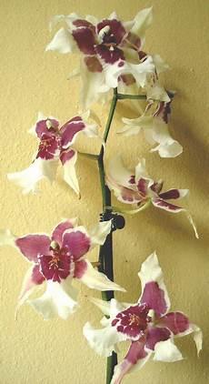 orchidee fiori appassiti cambria orchidee tecniche di coltivazione e principali