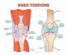 Knees Ligaments And Tendons Knee Ligaments Joi Jacksonville Orthopaedic Institute
