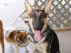 German Shepherd Ear Chart Ear Forms In German Shepherd Dog Forums