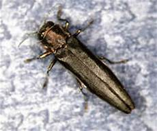 Bronze Birch Borer Bronze Birch Borer Insect Problem Dead Leaves Dieback