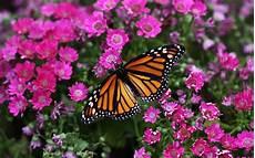 Mariposas Y Flores Opi Las Flores Y Las Mariposas Ya No Aparecen A La Vez