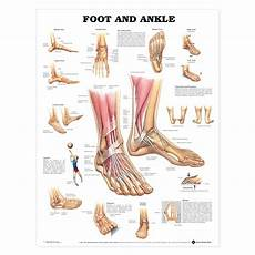 Foot Anatomy Chart Foot And Ankle Anatomical Chart The Physio Shop