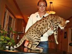 Bengal Cat Size Chart Savannah Cat What Generation Is Right For You Savannah