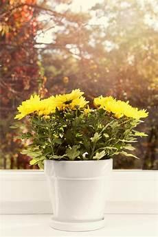 fiori da davanzale vaso da fiori con il crisantemo giallo sul davanzale della