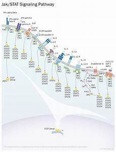 Jak Stat Pathway Jak Stat Signaling Interactive Pathway R Amp D Systems
