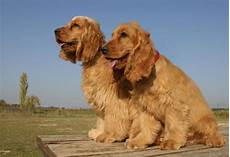 American Cocker Spaniel Size Chart How Much Should A Cocker Spaniel Weigh 4 Steps