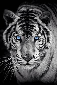 tiger wallpaper iphone 7 white tiger iphone 5 wallpaper zoom wallpapers