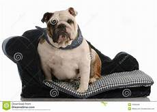 bulldog sitting on bed royalty free stock