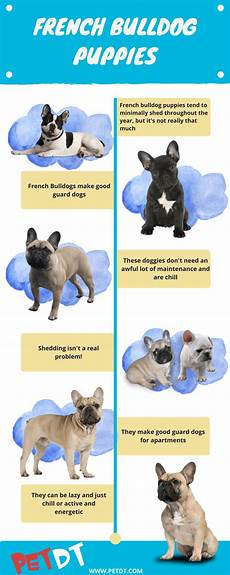 French Bulldog Growth Chart French Bulldog Puppies A Complete Guide Petdt