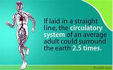Circulatory System Organs Circulatory System Organs And Their Functions Bodytomy