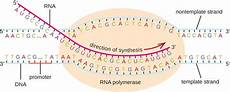 Transcription Biology Functional Output Of Dna Protein Synthesis A Level