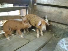 animali da cortile in vendita 2014 progetto efok obala vilse volontariato