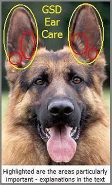 German Shepherd Ear Chart Gsd Ear Care Mygermanshepherd Org
