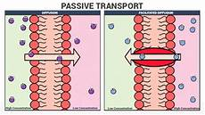 Passive Transport And Its Types Diffusion Facilitated