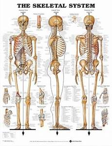 Full Body Anatomy Chart Skeletal System
