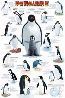 Types Of Penguins Chart Penguins Chart Posters At Allposters Com