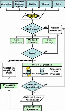 Stress Response Flow Chart Cellular Response To Oxidative Stress Shown Here Is A