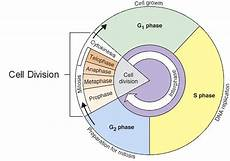 Interphase Chart Cell Cycle Interphase Lessons Tes Teach Cells