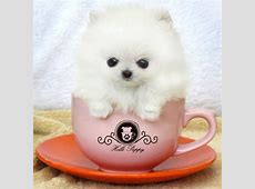 White Pomeranian puppy in a cup   LuvBat