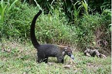 Little Animals With Long Tails Mammals Of Costa Rica Monkeys Sloths Jaguar Tapir Amp More