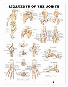 Ligaments Of The Joints Charts 2432
