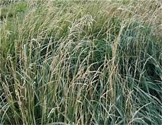 Fescue Hay Forage Identification Index Department Of Plant