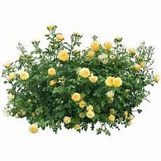 yellow roses bush transparent png stickpng