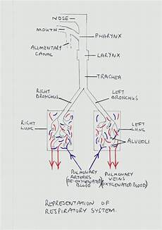 Lungs The Respiratory System Hubpages