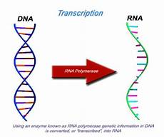Transcription Biology The Quot Central Dogma Of Biology Quot Lhsc