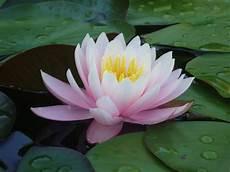 Flor De Lotus De Alma Para Alma Flor De Lotus