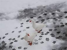 oche da cortile oche nella neve foto immagini animali animali