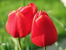 tulipani fiori flower homes tulip flowers