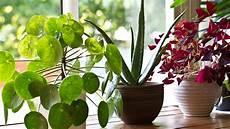 zimmerpflanzen luftreiniger diese 5 zimmerpflanzen reinigen die luft besonders gut