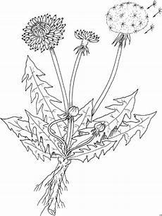 Malvorlagen Gratis Aquarell Kraeuter Loewenzahn Ausmalbild Malvorlage Blumen