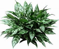 Low Light Stem Plants Chinese Evergreen Are Low Light Easy Care Houseplants
