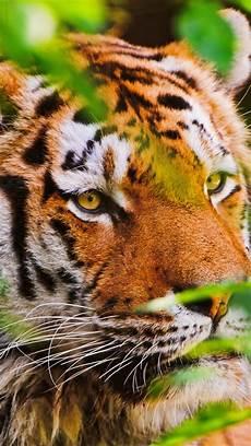 tiger wallpaper iphone 7 plus tiger big cat iphone x 8 7 6 5 4 3gs wallpaper