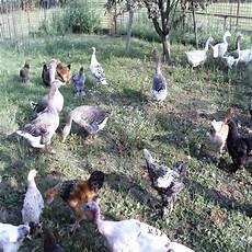 oche da cortile gli animali da cortile il mondo degli animali