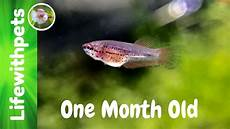Baby Betta Growth Chart Betta Fish Growth From Birth To One Month Old Youtube