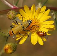 "Image result for ""soldier-beetle"""