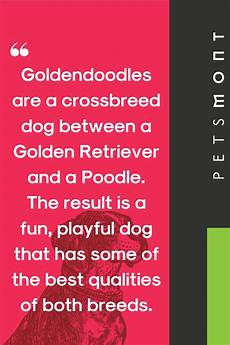 Goldendoodle Food Chart What Is The Best Dog Food For Goldendoodles In 2020