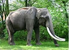 Malvorlage Indischer Elefant Elefanten Tiere