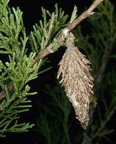 How To Treat Bagworms Is That A Bagworm North Carolina Cooperative Extension