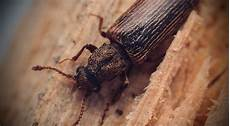 Powderpost Beetle Powderpost Beetle Infestation Control Western Pa Pestco