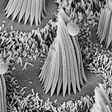 Hair Cells Sensory Transduction By Hair Cells Of The Inner Ear Hhmi Org