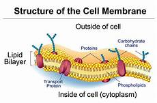 Membrane Structure And Function Cell Membrane Controls What Enters And Exits The Cell