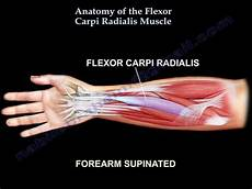 Fcr Tendon Anatomy Of The Flexor Carpi Radialis Muscle Everything
