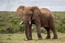 Malvorlage Afrikanischer Elefant Paarungsverhalten Afrikanischer Elefanten 187 Beim