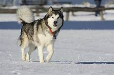 Alaskan Malamute Height And Weight Chart Alaskan Malamute Dog Breed 187 Information Pictures Amp More