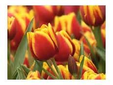 tulipani fiori emozioni fiori e matrimoni dillo con i fiori